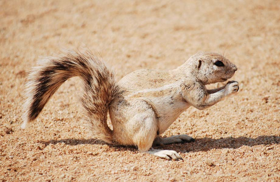 Erdhörnchen (Southern African Ground Squirrels)