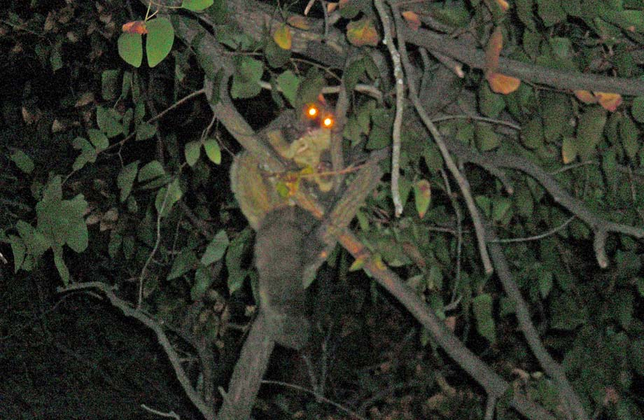 Riesengalago (Thick-tailed Bushbaby / Greater Galago)