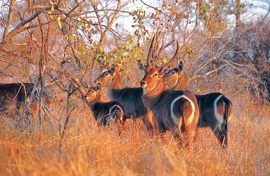 Ellipsenwasserbock (Waterbuck)