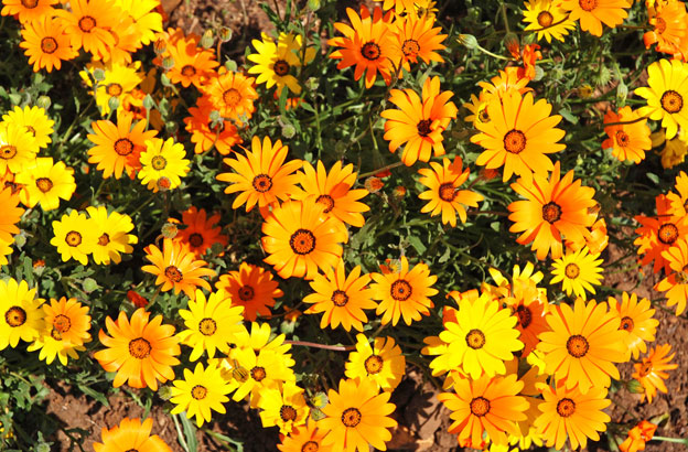 Wildblumen-Paradies Namaqualand